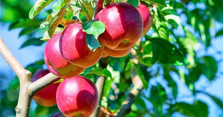Apples on apple tree in the garden