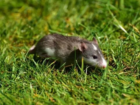 Rodents/Rats