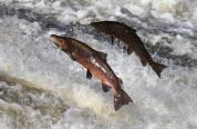 salmon21