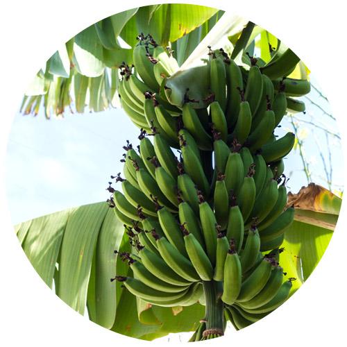 BananaVerdePadraoArtigos