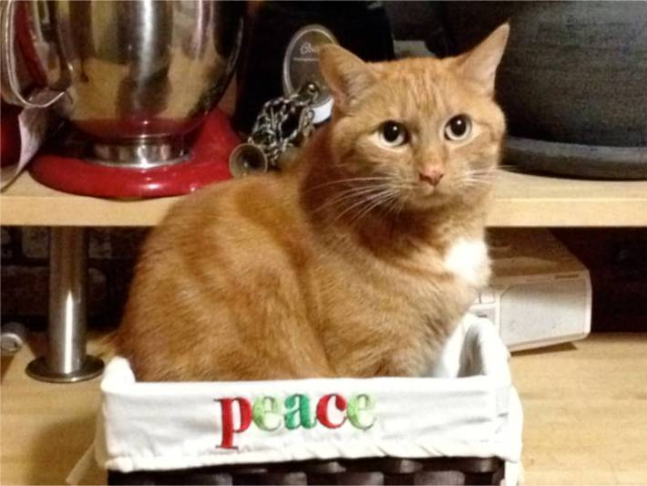 Tink the cat in a Christmas basket.