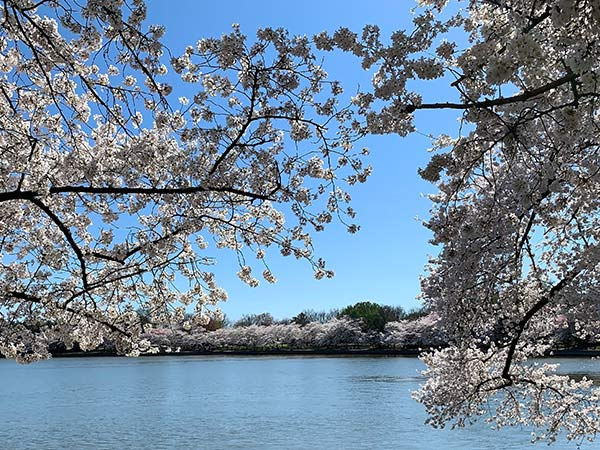DC's Tidal Basin framed by cherry blossoms