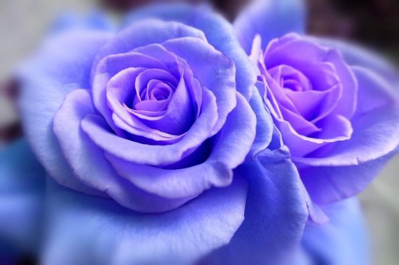 rose-1055577_1280