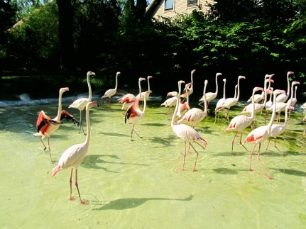 Flamingoes spreading their wings