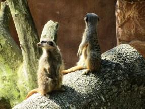 The meerkats guarding