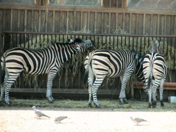The zebras are having breakfast
