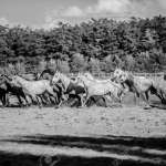 Black And White Colored Photo Of Running Horses Summertime Stock Photo Picture And Royalty Free Image Image 81810485