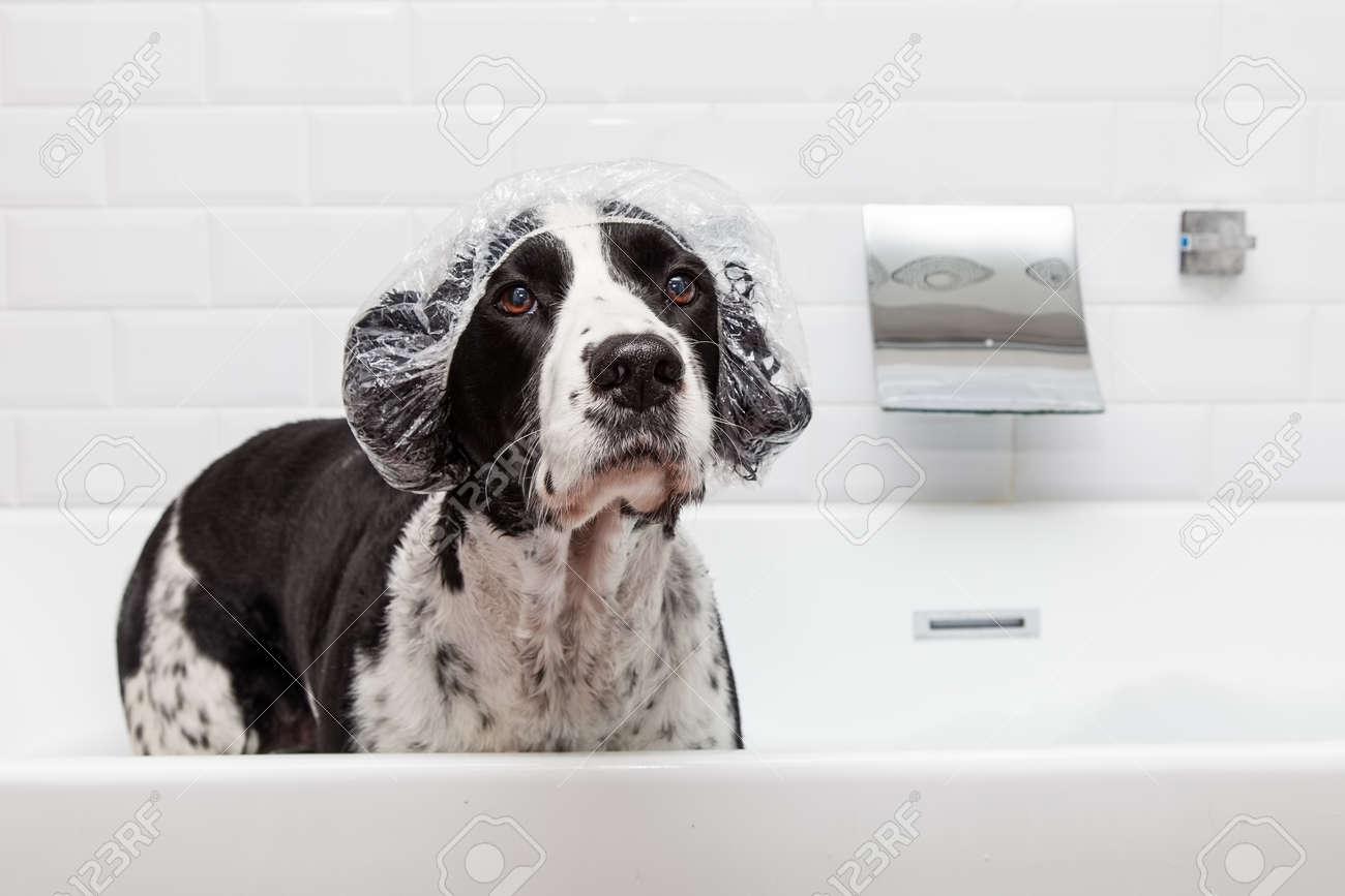 photo drole de chien english springer spaniel porter un bonnet de douche dans la baignoire