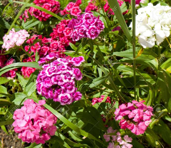 Flower Bed With Many Flowers Carnation Of Different Colours  Stock     Flower bed with many flowers carnation of different colours  Stock Photo    43991094