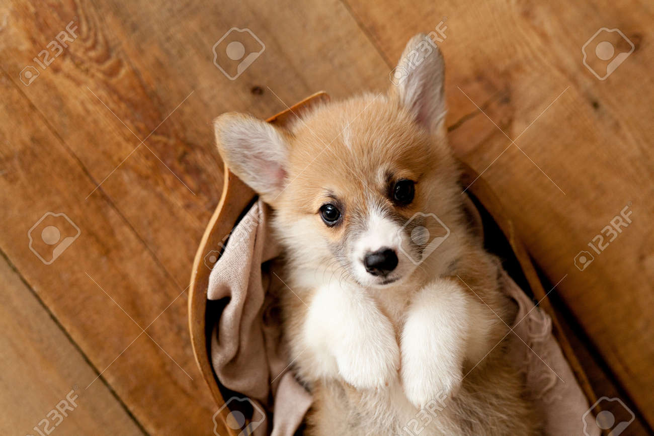 Cute Puppy Welsh Corgi Pembroke Stock Photo Picture And Royalty Free Image Image 129852054