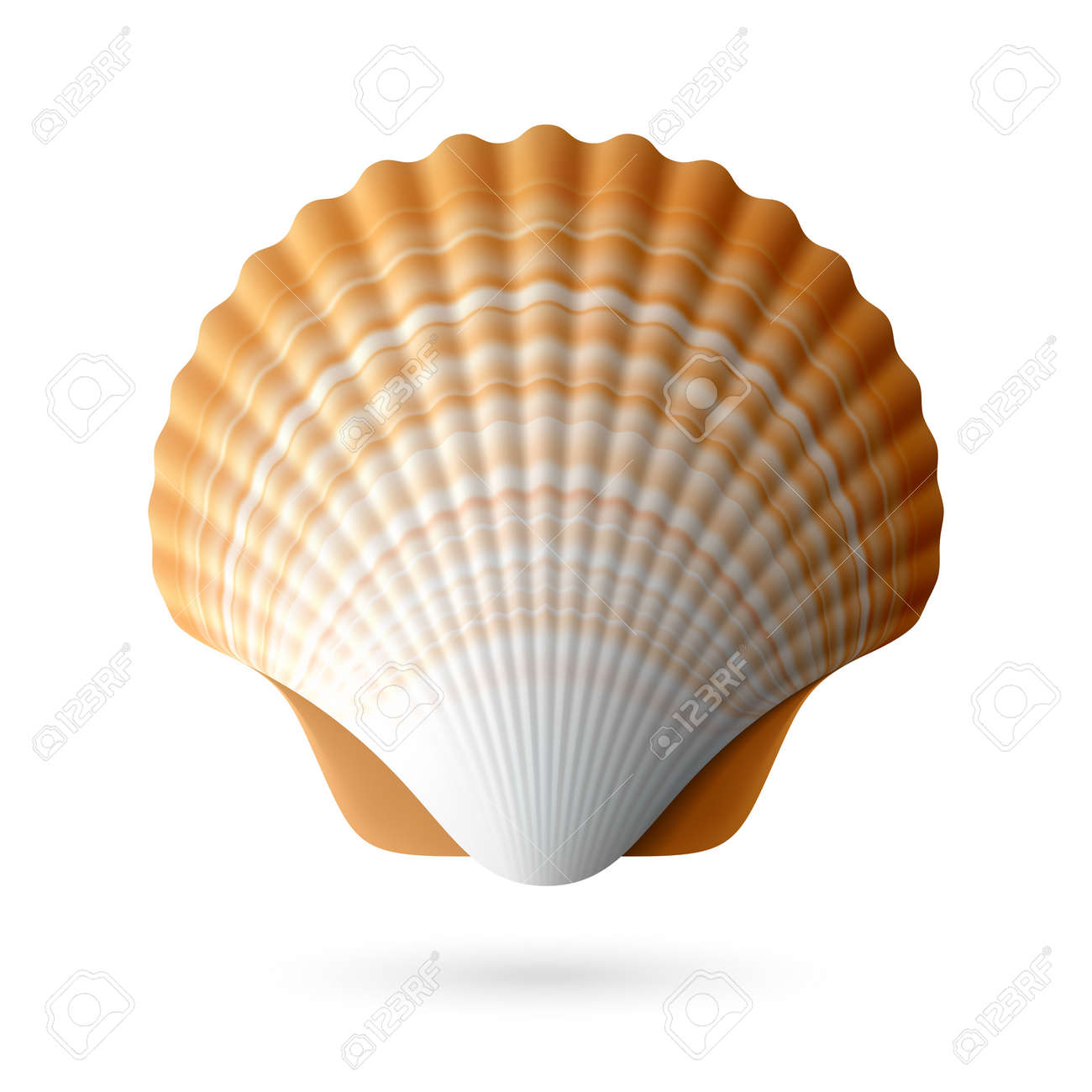 Scallop Seashell Royalty Free Cliparts Vectors And Stock Illustration Image 20751296
