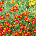 Beautiful Bright Orange Flowers On A Flower Bed Yellow Stamens Stock Photo Picture And Royalty Free Image Image 100755659