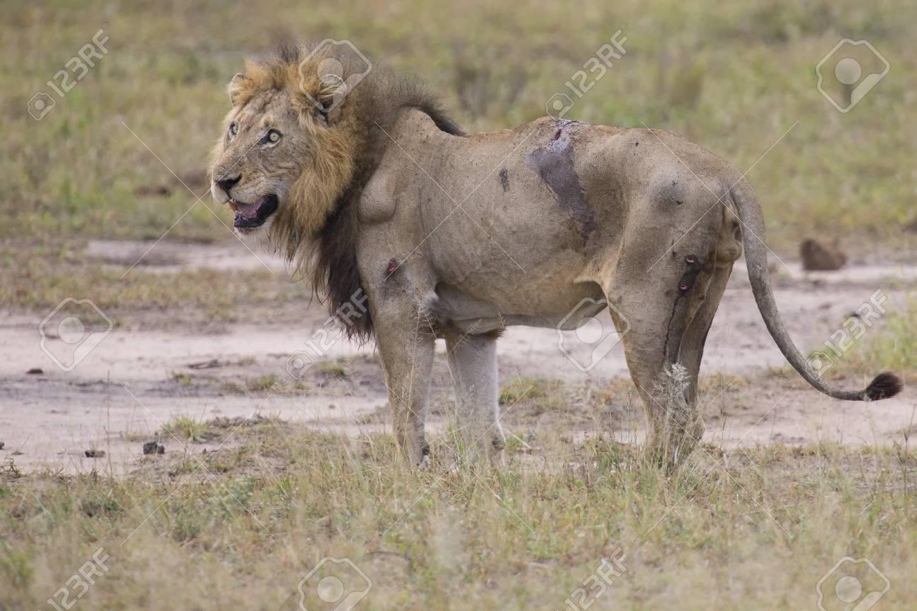 blesse vieux male lion couche pour se reposer dans l herbe et lecher ses blessures banque d images et photos libres de droits image 56201605