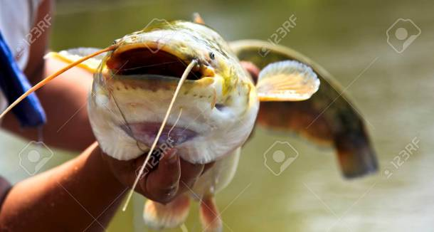 Image result for catfish with hook in mouth