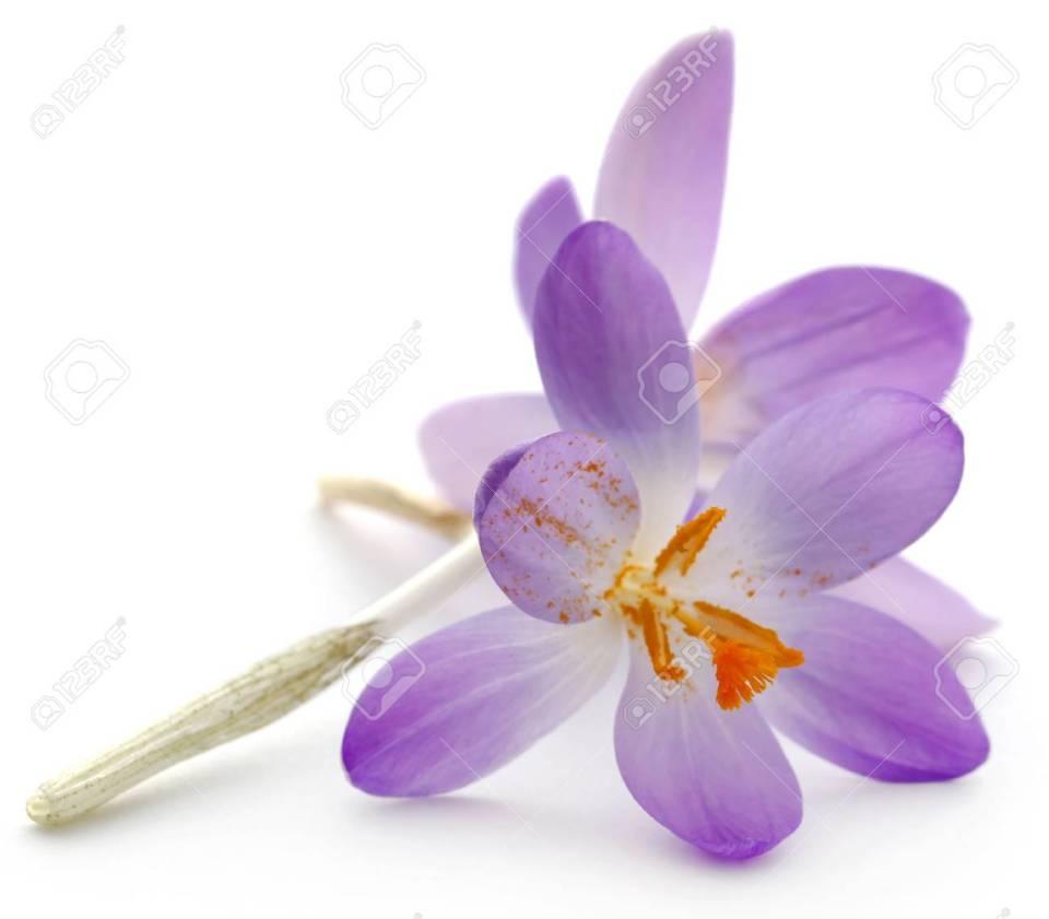 Saffron Crocus Flower Over White Background Stock Photo, Picture ...