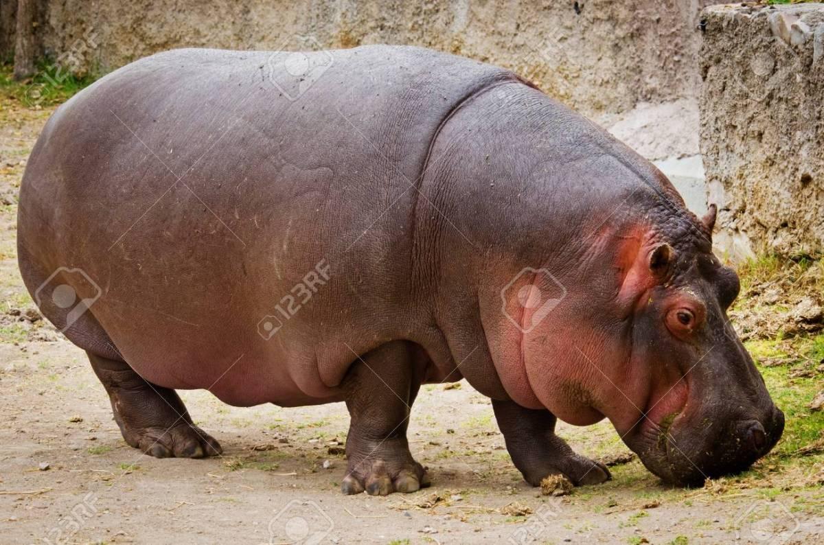 Hippo (Hippopotamus Amphibius) Close Up Stock Photo, Picture And ...