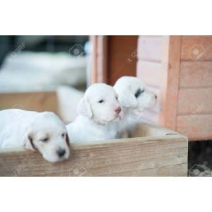 Floor English Setter Puppy Photo English Setter Puppy Photo