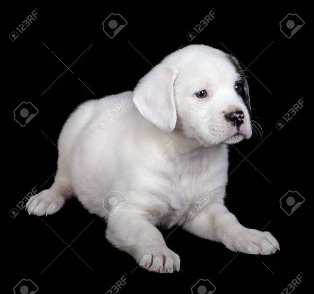 mix labrador and bulldog puppy on a black background stock photo