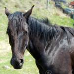 Face Of The Black Horse Front View Close Up Stock Photo Picture And Royalty Free Image Image 3170187