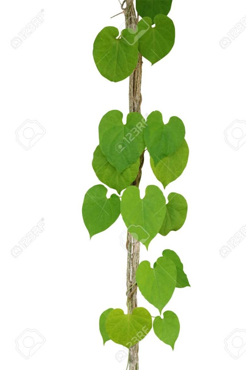 Heart Leaf Shaped Plant Jidileafco