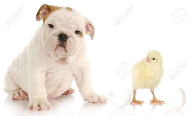 adorable bulldog inglés cachorro sentado al lado de pollito de bebé