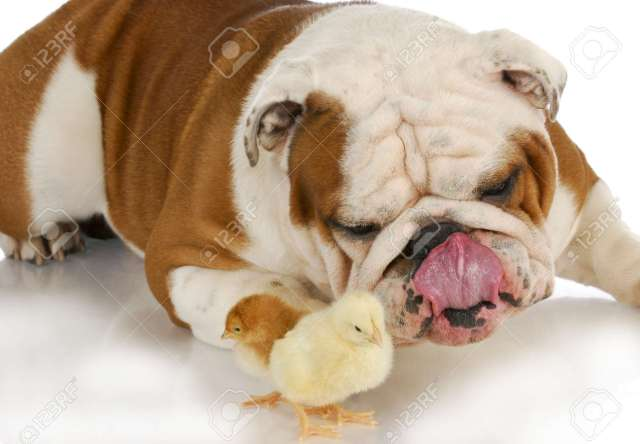 perro hambriento - bulldog inglés lamiendo labios mirando polluelos