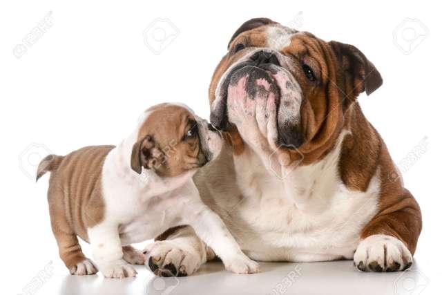 perros y cachorros bulldog inglés para adultos fotos, retratos