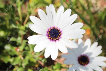White flower with blue center flower shop near me flower shop centered anemone and dark purple ranunculus wind flower anemone de caen black eyed beauty from longfield gardens white flower with navy blue center mightylinksfo