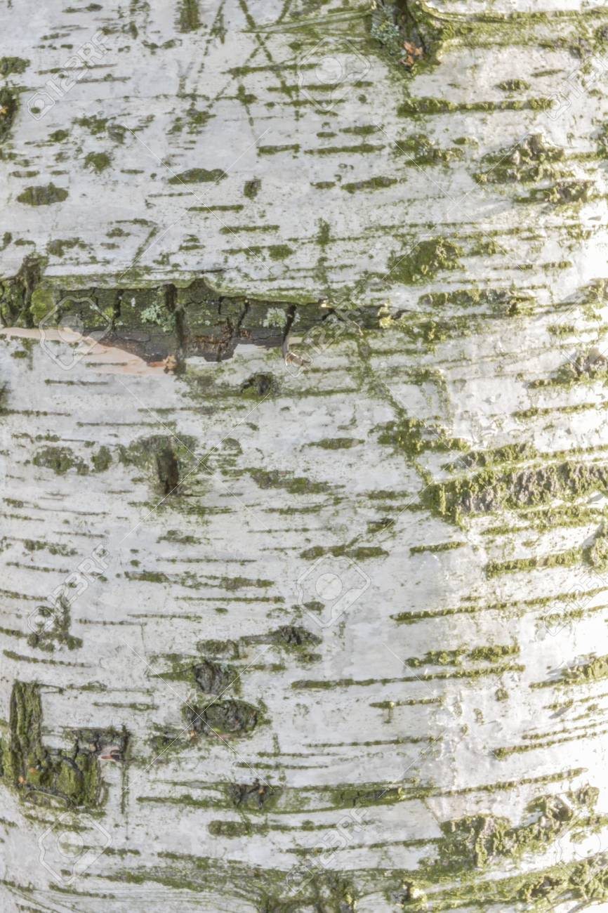 Texture Of Old Birch Tree Bark With Green Moss White Birch Bark Stock Photo Picture And Royalty Free Image Image 111083481