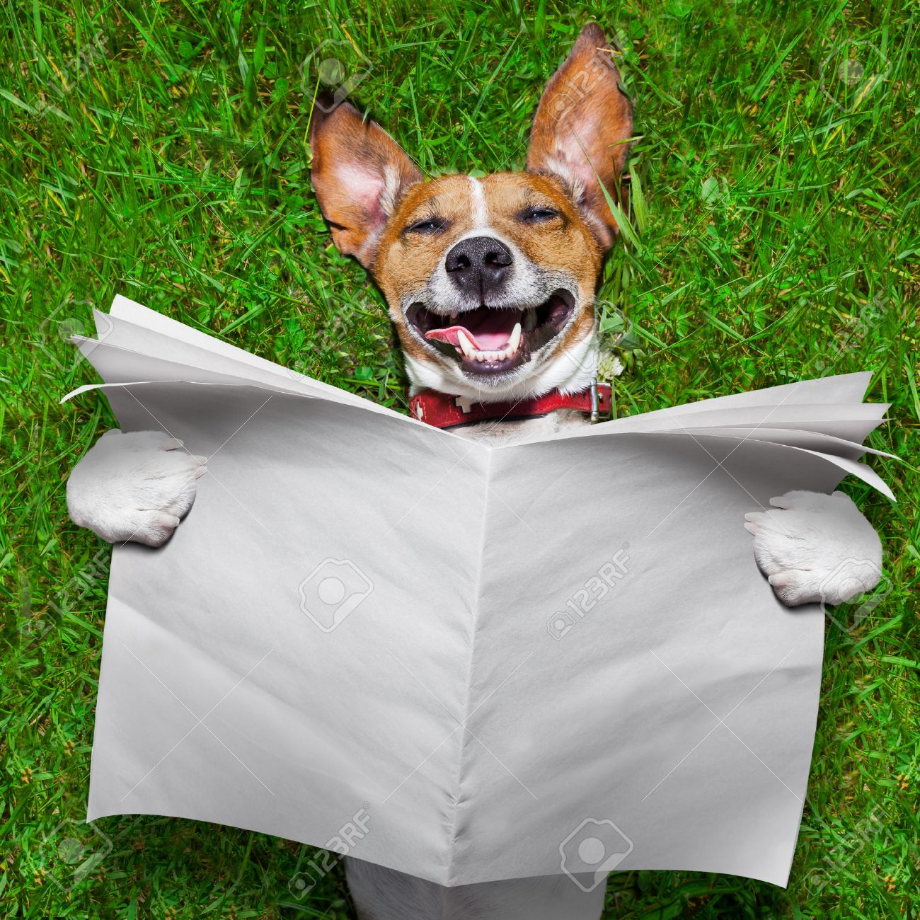 super funny face dog lying on back on green grass reading blank