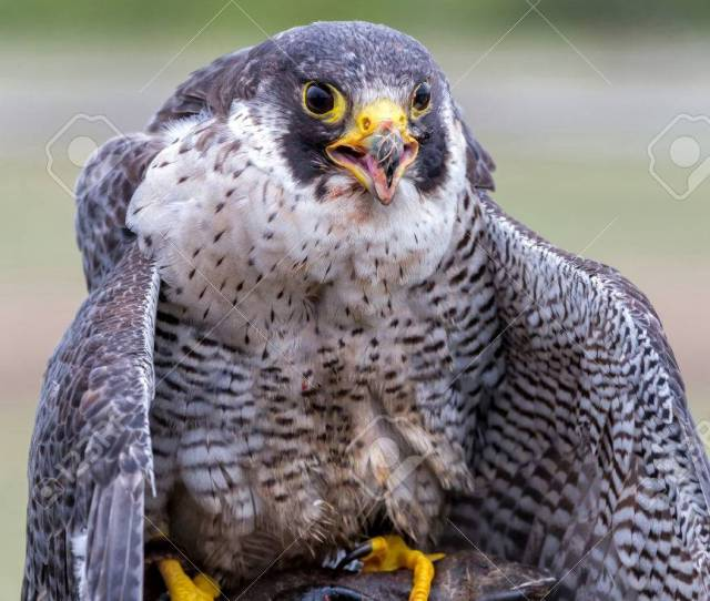 Peregrine Falcon Falco Peregrinus These Birds Are The Fastest Animals In The World