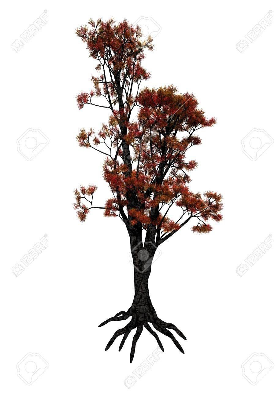 le cedre rouge arbre isole sur fond blanc