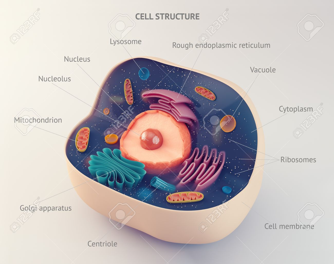 Anatomical Structure Of Biological Animal Cell With Organelles Stock     Anatomical structure of biological animal cell with organelles Stock Photo    55829406