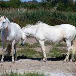 White Wild Horses Of Camargue France Europe Stock Photo Picture And Royalty Free Image Image 67247035