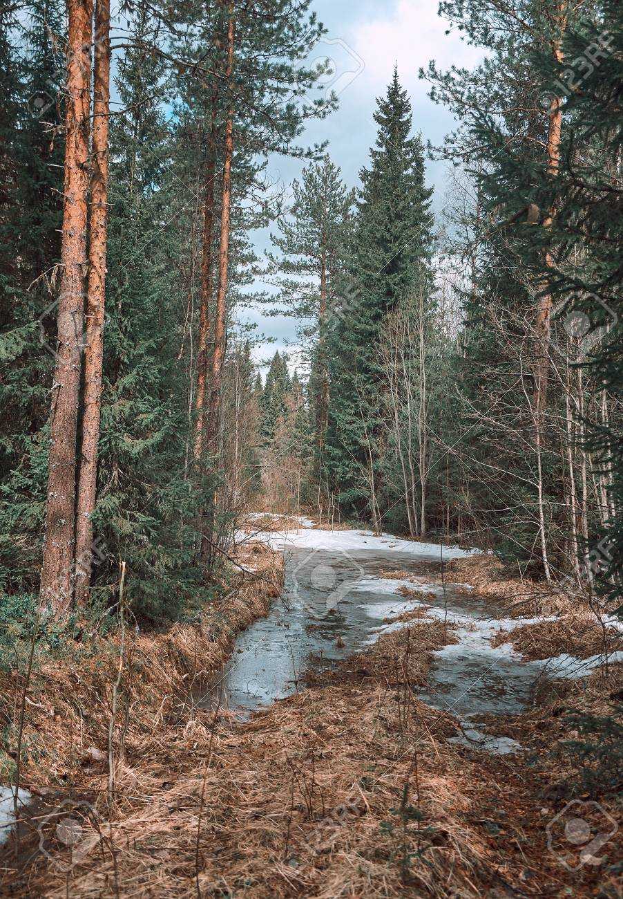 Evergreens in the taiga tend to be thin and grow close together. Road In Spring Pine Forest Russian Taiga Stock Photo Picture And Royalty Free Image Image 78679359