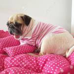 Close Up Face Of Cute Funny Puppy Pug Dog Sleep Rest On Pillow Stock Photo Picture And Royalty Free Image Image 93560400