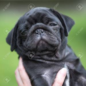 Endearing Sale Pets All Black Pug Puppies Dogs Black Pug