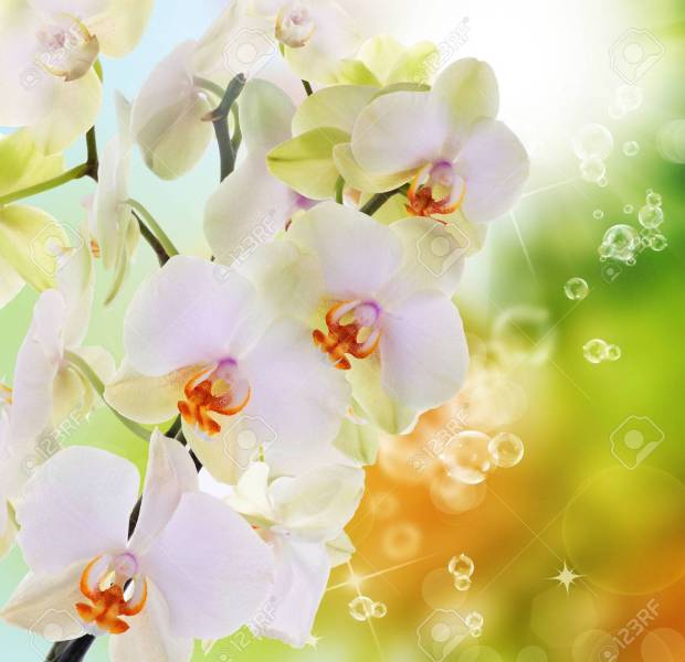 Beautiful Flowers Japanese Orchid Beauty Flora Stock Photo  Picture     Beautiful flowers Japanese Orchid Beauty Flora Stock Photo   24880005