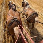 Two Draft Horses Working At Pulling The Wagon In The Field Stock Photo Picture And Royalty Free Image Image 7847222