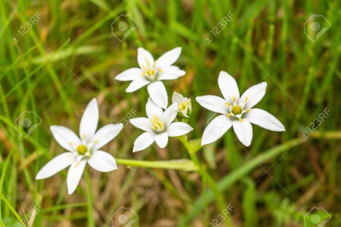 Pictures of weeds with white flowers the best flower of 2018 florida snow not what it seems as weed invades yards and swales mightylinksfo Choice Image