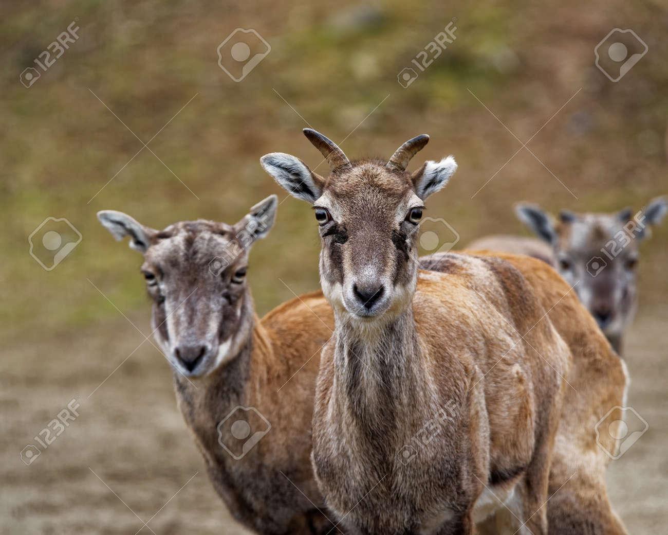 https fr 123rf com photo 50771152 bharal ou l himalaya bleu mouton ou naur pseudois nayaur est un caprid c3 a9 trouv c3 a9 dans l himalaya de html