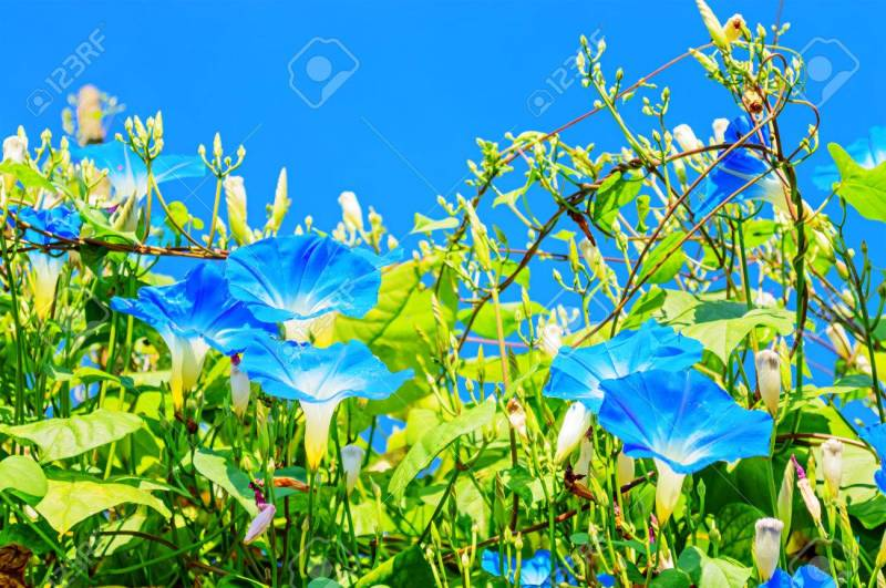 Sturdy Heavenly Blue Ipomoea Flowers On Sky Background