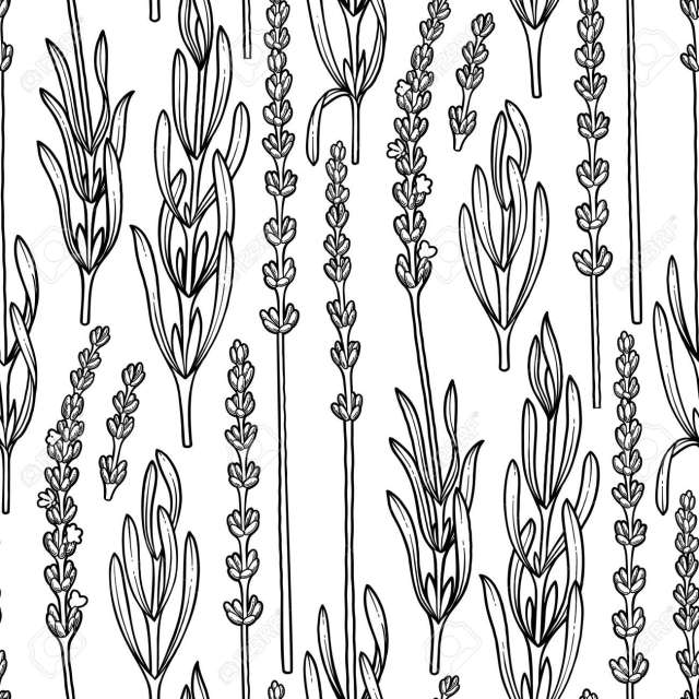 Graphic Lavender Flowers. Vector Herbal Seamless Pattern. Coloring