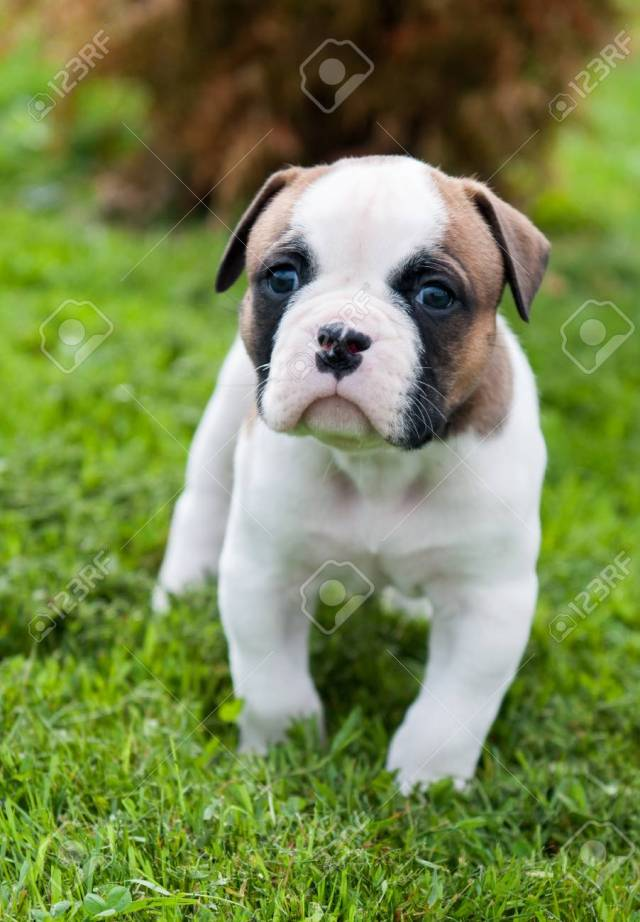 funny nice red white american bulldog puppy is walking on the..