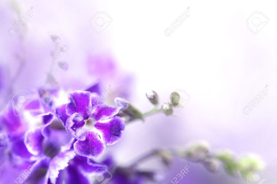 Violet Color Flowers Of Duranta Erecta L  Verbenaceae Stock Photo     Stock Photo   Violet color flowers of Duranta erecta L  Verbenaceae