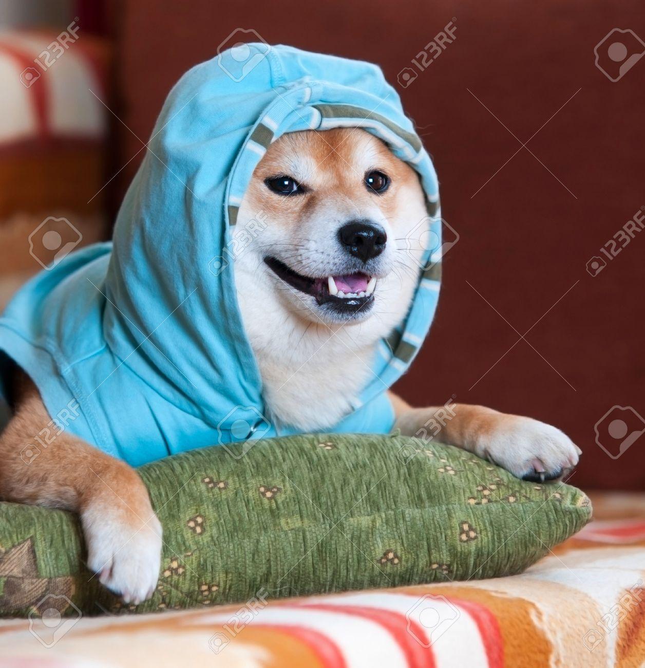 happy shiba inu dog with blue jacket on pillow
