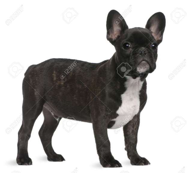 french bulldog puppy, 4 months old, standing in front of white..
