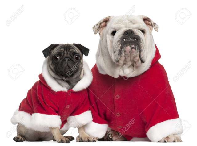 english bulldog and pug wearing santa outfits in front of white..