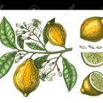 Hand Drawn Citrus Fruits Lemon Branch Vector Sketch Of Highly Royalty Free Cliparts Vectors And Stock Illustration Image 132270435