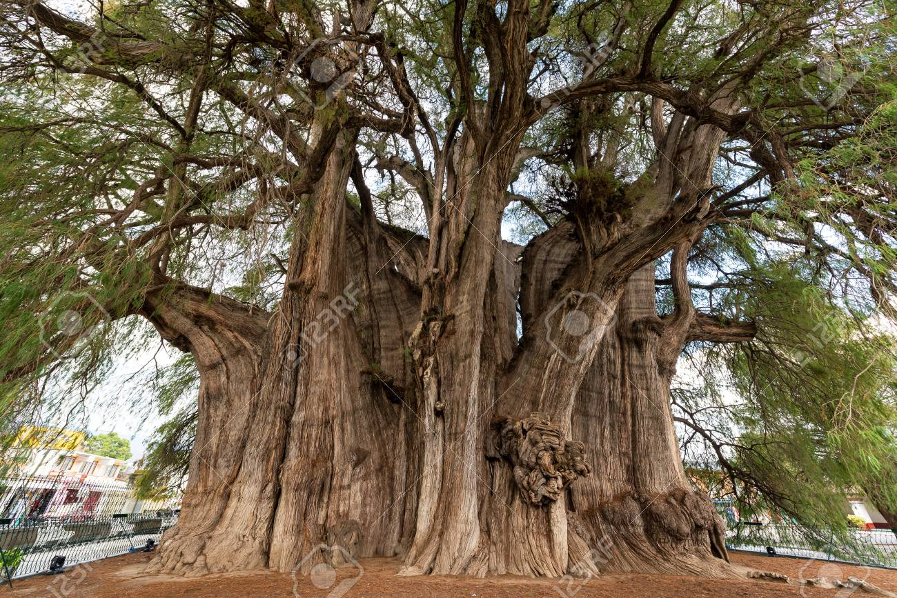 Tree Of Tule Said To Be The Largest Tree In The World Near Oaxaca Stock Photo Picture And Royalty Free Image Image 86676163